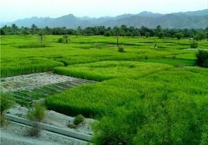 آغاز نشای برنج در روستای اولم شاندرمن