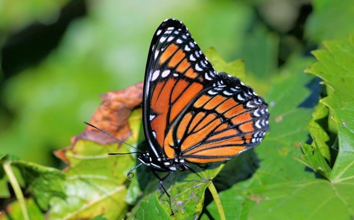 افزایش نوعی پروانه با بارش های اخیر در جنوب کشور