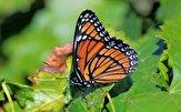 باشگاه خبرنگاران -افزایش نوعی پروانه با بارش های اخیر در جنوب کشور