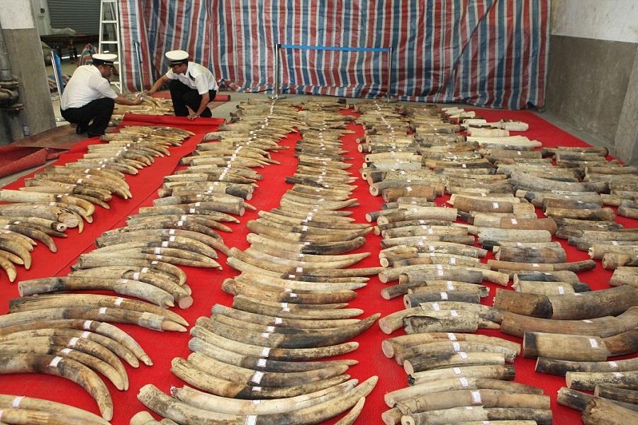 کشف و ضبط محموله بزرگ قاچاق عاج فیل در چین