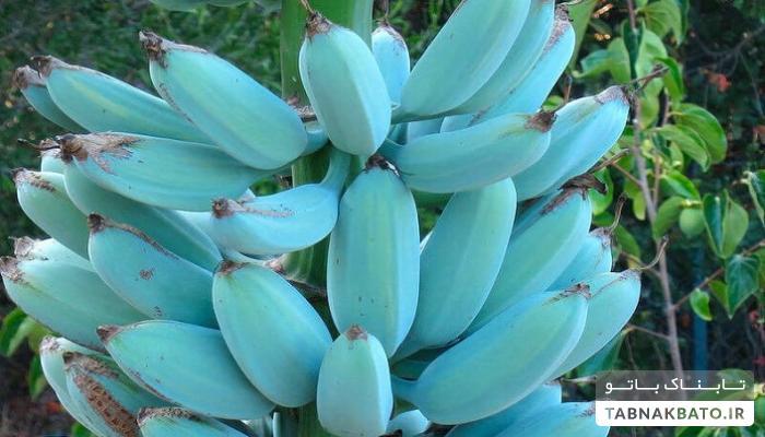 ـ آیا تاکنون موز آبی رنگ با بوی منحصر به فرد وانیل را تصوّر کرده اید؟!