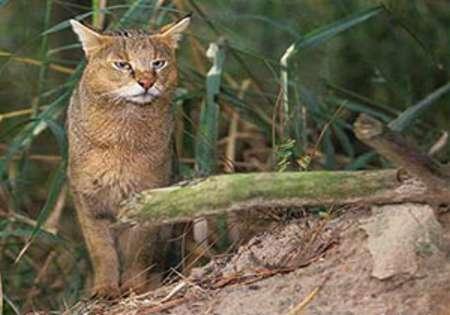 بازگشت یک قلاده گربه جنگلی به طبیعت در رودسر