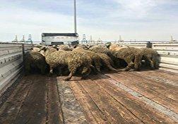 باشگاه خبرنگاران - ذبح گوسفندان دم دراز برای تنظیم بازار گوشت + فیلم