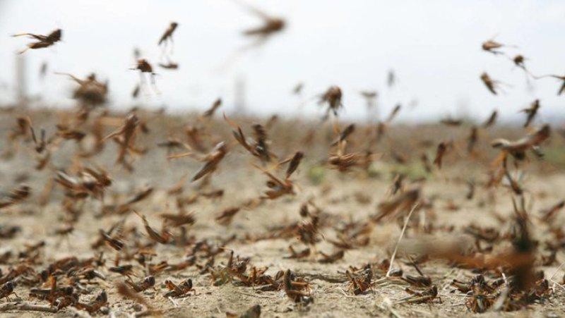 عملیات مبارزه با ملخ های صحرایی آغاز شد/ هجوم بی سابقه ملخ های صحرایی به زمین کشاورزی
