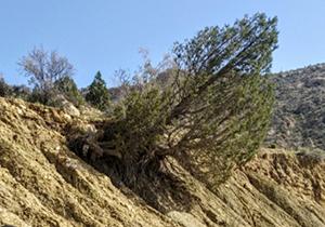 اجرای طرح نجات درخت وُهل چندصد ساله در استهبان فارس