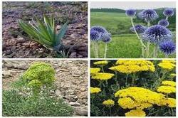 طرح توسعه کشت گیاهان دارویی در استان زنجان به طور ویژه حمایت می شود