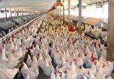 باشگاه خبرنگاران - قیمت میانگین هر کیلو مرغ در استان ۱۱۵۰۰ تومان است