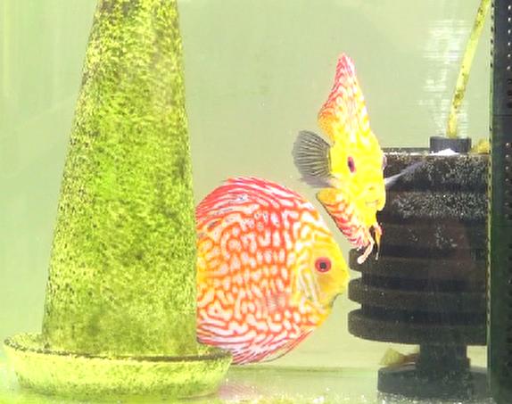 باشگاه خبرنگاران - پرورش ماهی زینتی صنعتی رنگارنگ، زیبا و سودآور