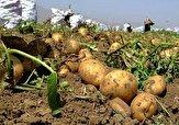باشگاه خبرنگاران -پیش بینی برداشت بیش از ۱۳ هزار تن سیب زمینی در هرمزگان