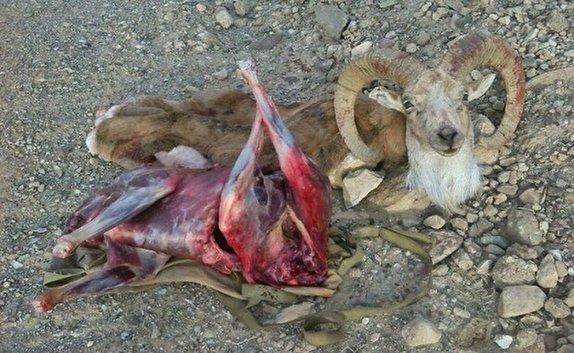 کشف لاشه یک راس قوچ وحشی در منطقه شکارممنوع شیربند