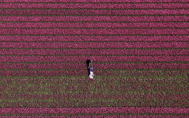 تصاویر روز: از اعتراض فعالان محیط زیست در انگلیس تا تصویری هوایی از گلهای لاله در هلند