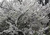 باشگاه خبرنگاران -شکوفههای بهاری درختان در منطقه شناط + فیلم