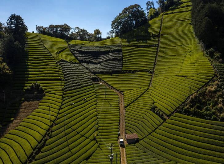 تصویری شگفت انگیز از مزرعه زیبای چای در ژاپن
