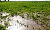 باشگاه خبرنگاران -خسارت به مزارع گندم در غرب کارون بر اثر آبگرفتگی