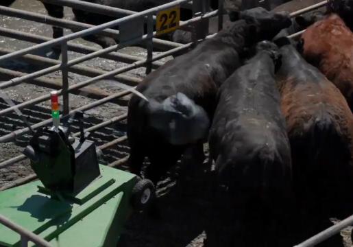 دستگاهی مدرن برای هدایت گاوها به مسیرهای مختلف + فیلم