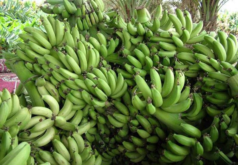 ۱۲۶ هزار تن میوه گرمسیری در سیستان و بلوچستان برداشت شد