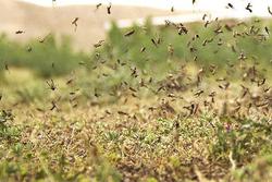۸۰ میلیارد ریال اعتبار برای مقابله با ملخهای صحرایی نیاز است