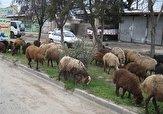 باشگاه خبرنگاران -چرای آزادانه گوسفندان در معابر مسکن مهر کهریزک! + فیلم
