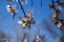 شکوفههای بهاری قزوین