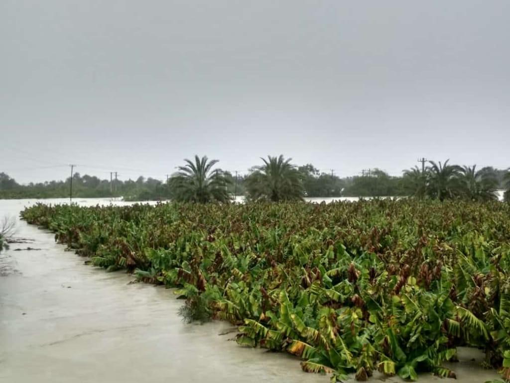 تخریب مزارع و باغهای موز بر اثر سیل در جنوب استان