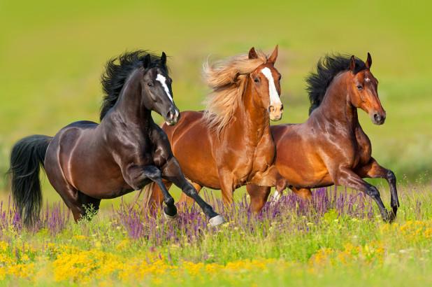 اسبهای استان بوشهر هویت گذاری میشوند