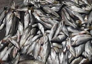 معدوم کردن۵۰ کیلوگرم ماهی غیر قابل مصرف