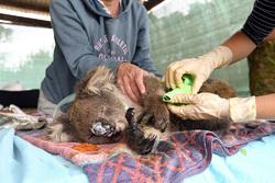جهنم آتشسوزی استرالیا برای گونههای جانوری