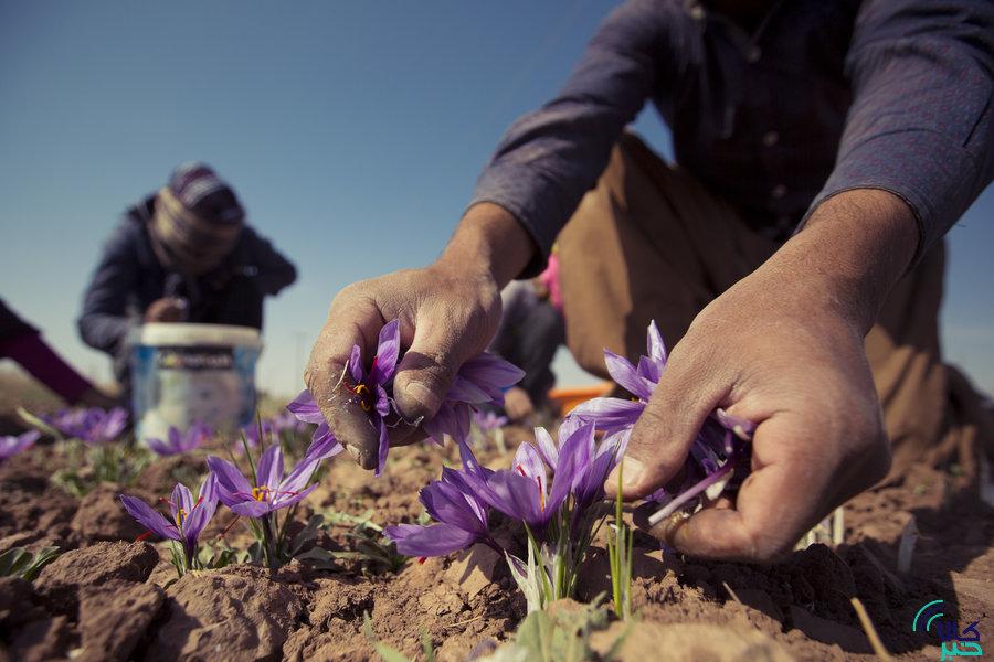 پیگیری برای پرداخت مبلغ خرید حمایتی زعفران