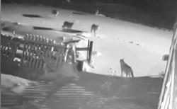 حمله گرگهای گرسنه به سگهای یک روستا + فیلم