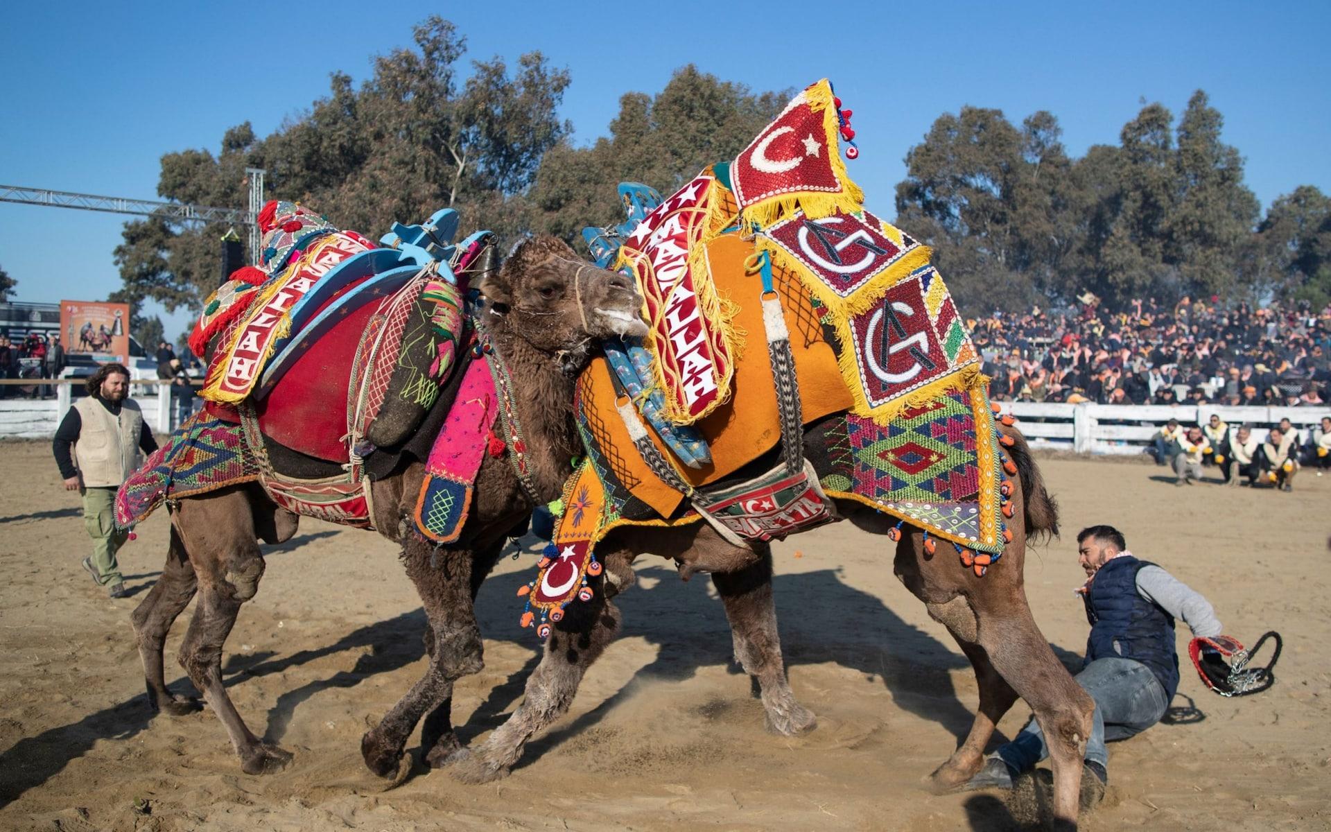 تصاویر روز: از شرکت بیش از ۹۷۰۰ نفر در آزمون استخدامی اسپانیا تا فستیوال جنگ شترها در ترکیه