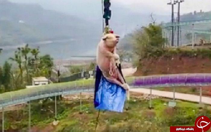 اقدام غیرانسانی مسئولان پارک با خوک زنده برای جذب گردشگر!