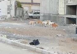 تردد دستهجمعی سگها در خیابان نصر زیباشهر + فیلم