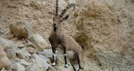 پایان سرشماری حیات وحش خرمنه سر استان زنجان