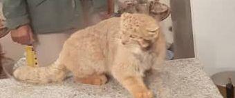 مشاهده یک قلاده گربه پالاس در استان کرمان