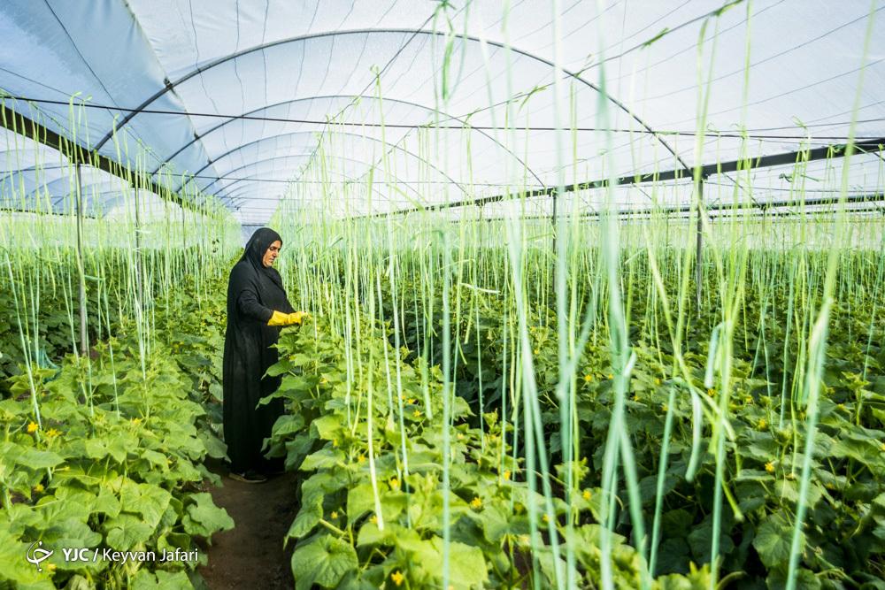 تولید محصولات کشاورزی با سالهای قبل از انقلاب قابل مقایسه نیست/رشد ۵۰ درصدی تولید محصولات کشاورزی در سایه دانش محور بودن کشاورزی