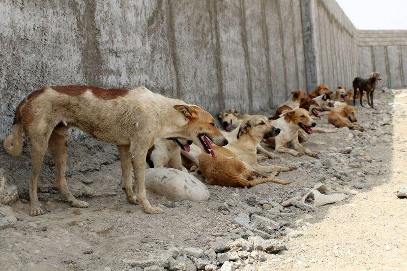 جمعآوری سگهای بدون صاحب محله دارآباد