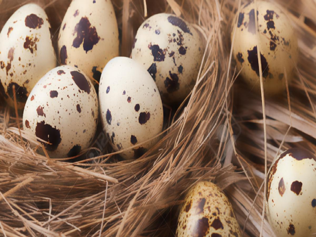 از فواید تخم بلدرچین چه میدانید؟