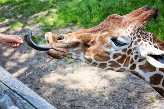 عجیبترین زبانها در دنیای حیوانات