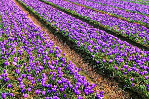 گلایه زعفران کاران از پولی که دولت به حسابشان واریز نکرد/حتی یک ریال از خرید تضمینی زعفران در جیب کشاورزان نرفت!