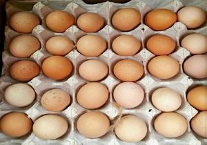 عرضه تخم مرغ بومی بهداشتی در خراسان جنوبی
