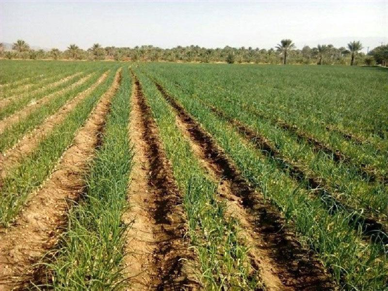 بارشهای خوب باران نوید بخش رونق کشاورزی در ایرانشهر