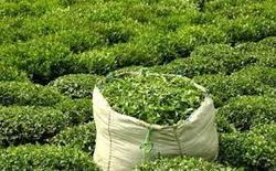 محبی///پرداخت بیش از ۹۸ درصد مطالبات چای کاران/ ۵۸ میلیارد تومان تسهیلات در اختیار ۱۰ هزار چای کار قرار گرفت