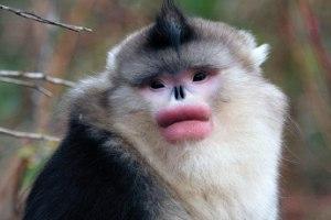 با میمون دماغ سربالا آشنا شوید