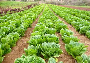درآمد میلیاردی کشاورزان آملی از فروش کاهو