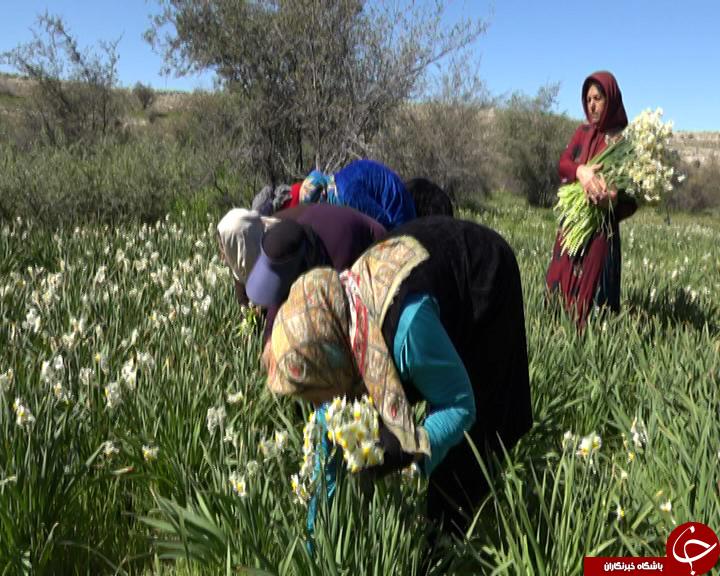 سفری به بزرگترین استان تولیدکننده گل نرگس در کشور