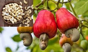 سیب بادام هندی