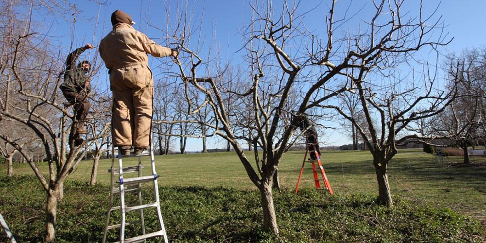 هرس نکردن درختان در فصل مناسب عامل بروز خسارت به کشاورزان
