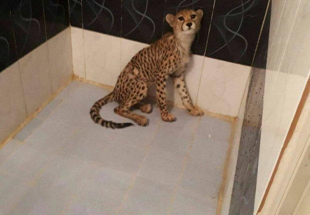 تصمیم دشوار برای حفظ یوزپلنگها/ با «ایران» چه باید کرد؟