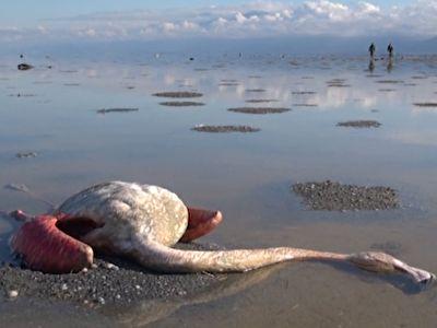 مرگ مرموز بیش از ۴۰۰۰ پرنده در تالاب میانکاله + فیلم