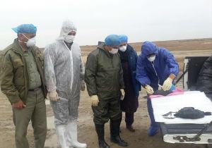 نمونه برداری از لاشه پرندگان تلف شده در سواحل بندر ترکمن به پایان رسیده است